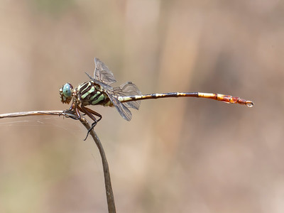 Broad-striped Forceptail (Aphylla angustifolia), male