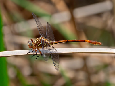 Broad-striped Forceptail (Aphylla angustifolia), female