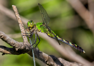Eastern Pondhawk (Erythemis simplicicollis), female, consuming female Dusky Dancer;  Bentsen SP