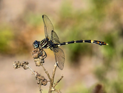 Five-striped Leaftail (Phyllogomphoides albrighti), female; Santa Ana NWR