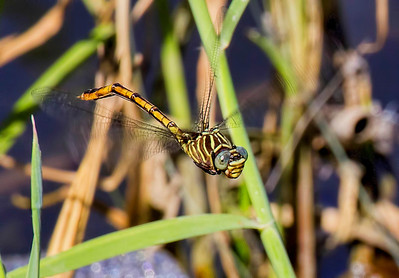 Narrow-striped Forceptail (Aphylia protracta), female;  Bentsen SP