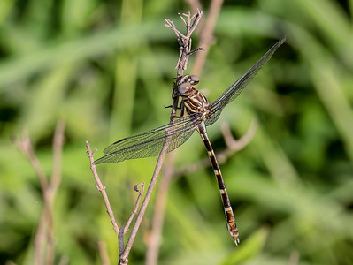 Five-striped Leaftail (Phyllogomphoides albrighti), female;  Pumphouse E of Santa Ana