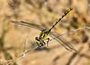 Sulfur-tipped Clubtail (Gomphus militaris), male:  Bentsen SP