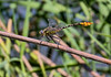 Flag-tailed Spinyleg (Dromogomphus spoliatus), male;  Bentsen SP