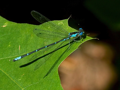 Aurora Damsel (Chromagrion conditum), Male