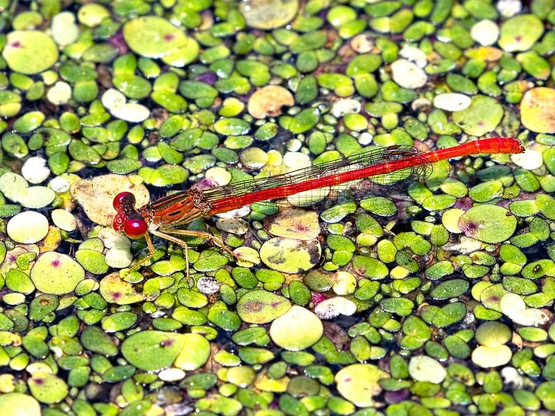 Duckweed Firetail (Telebasis byersi), male