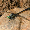 Spendid Clubtail (Gomphurus lineatifrons), Male