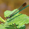 Superb Jewelwing (Calopteryx amata), Male