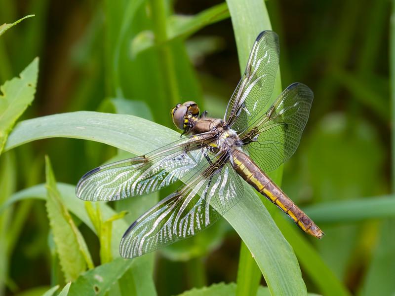 Twelve-spotted Skimmer (Libellula pulchella), Female