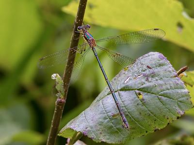 Elegant Spreadwing (Lestes inaequalis), Female