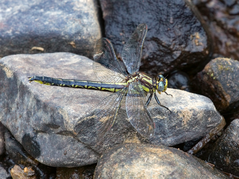 Harpoon Clubtail (Phanogomphus descriptus), Female