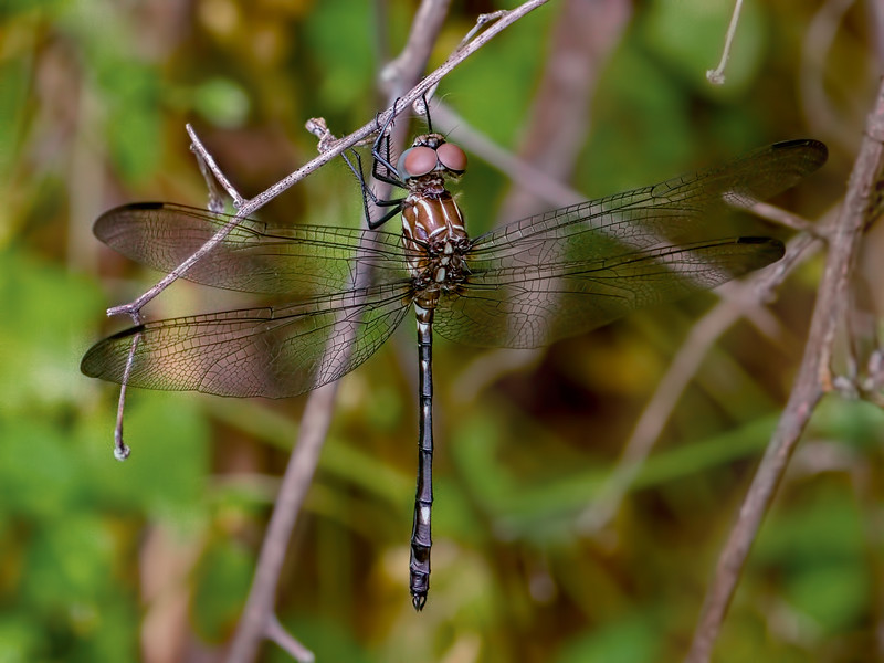 Swift Setwing (Dythemis velox), Male