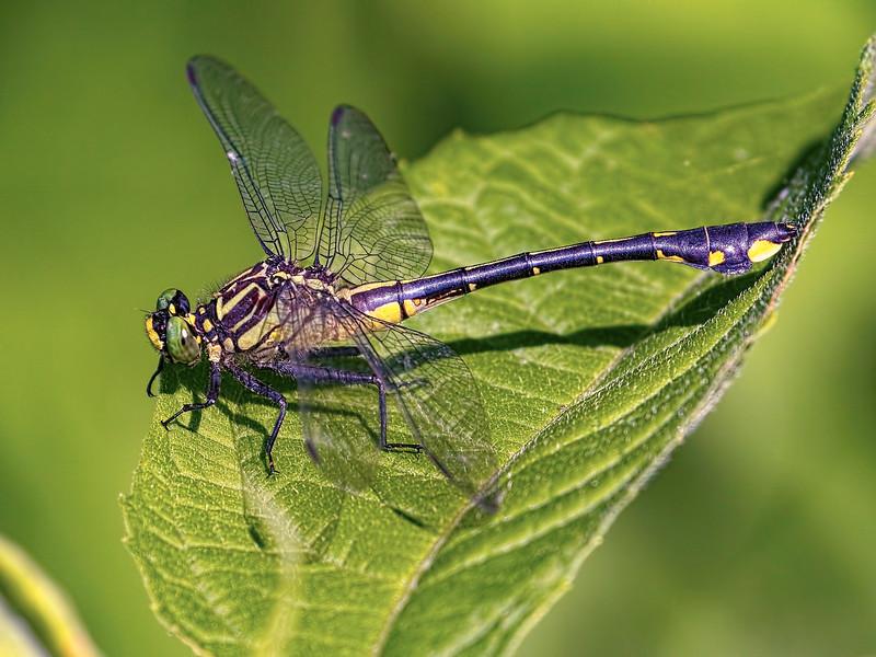 Cobra Clubtail (Gomphurus vastus), Female