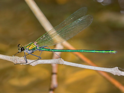 Appalachian Jewelwing (Calopteryx angustipennis), Male