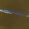 Stream Bluet (Enallagma exsulans), Male
