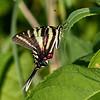 Zebra Swallowtail (Eurytides marcellus)