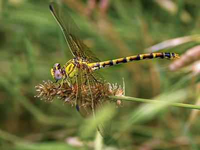 Eastern Ringtail (Erpetogomphus designatus), Female