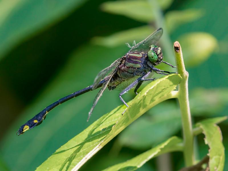 Cobra Clubtail (Gomphurus vastus), Male