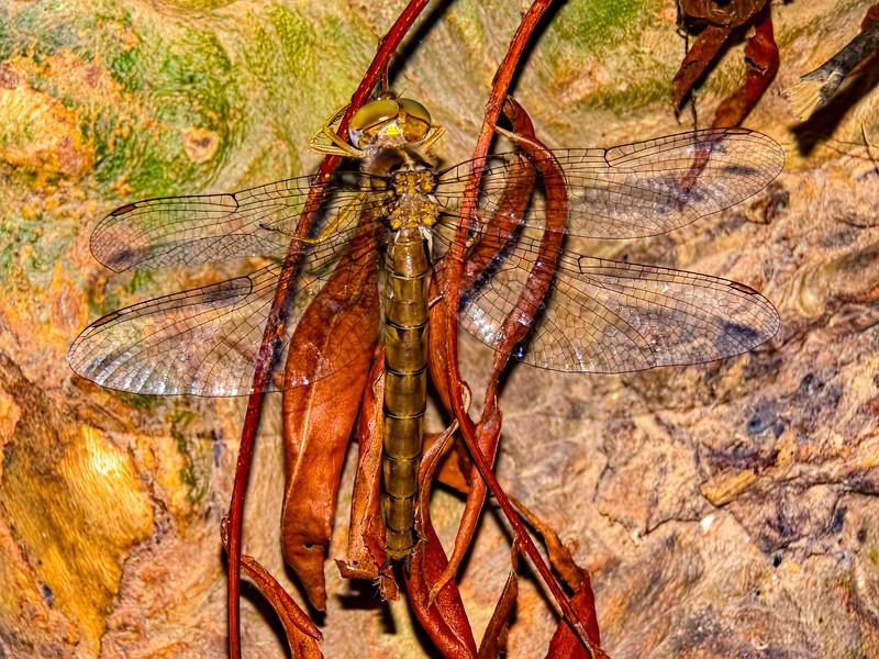Cinnamon Shadowdragon (Neurocordulia virginiensis), Female, POSED