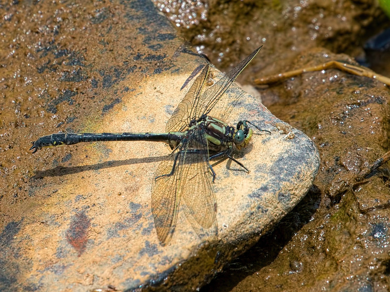 Harpoon Clubtail (Phanogomphus descriptus), Male