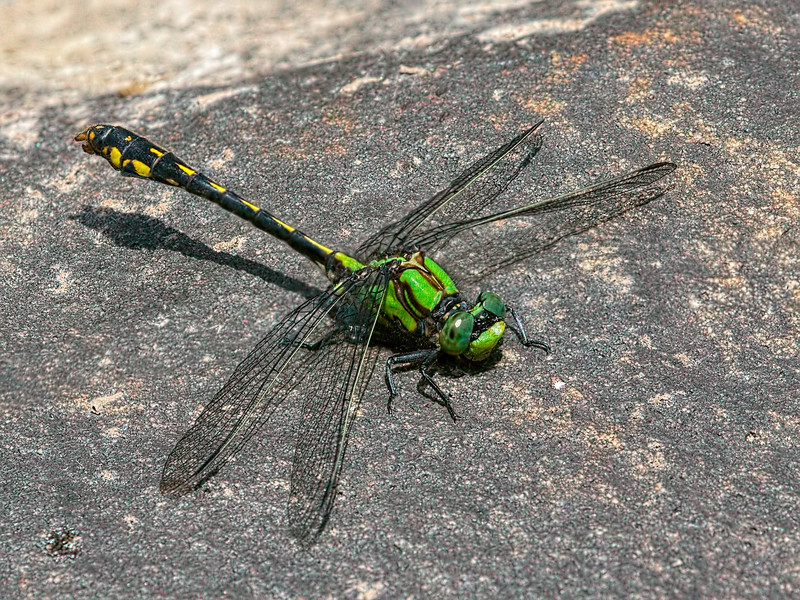 Male Snaketail (Ophiogomphus mainensis), Male (ID verified in hand)