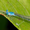 Attenuated Bluet (Enallagma daeckii), Male