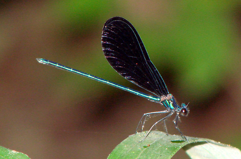 Ebony Jewelwing (Calopteryx maculata) male.  TX: San Jacinto Co. (Big Creek Scenic Area), 15 September 2007.