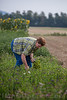 Annina Tschumi vom gleichnamigen Hof in Oensingen produziert als einzige Anbieterin die originalen Zibelizöpfe und Blumengebinde für den Zibelimäret in Oensingen © Patrick Lüthy/IMAGOpress.com