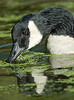 Canadian Goose Eats Duck Grass