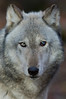 Lakota Wolf Preserve - Bergen County Camera Trip