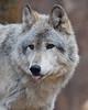 Lakota Wolf Preserve, 2008