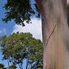 rainbow bark eucalyptus