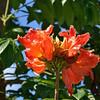 Spathodea campanulata – African Tulip Tree