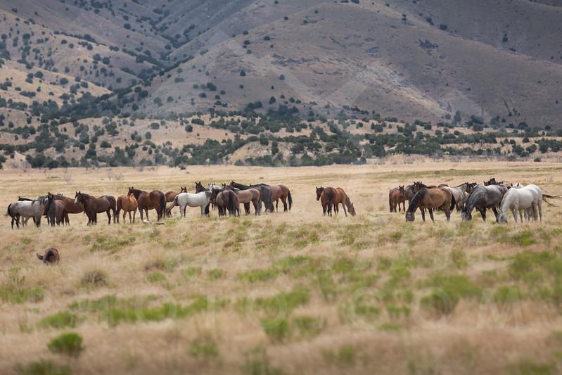 Wild Mustang Horses outside of Simpson Springs, Utah