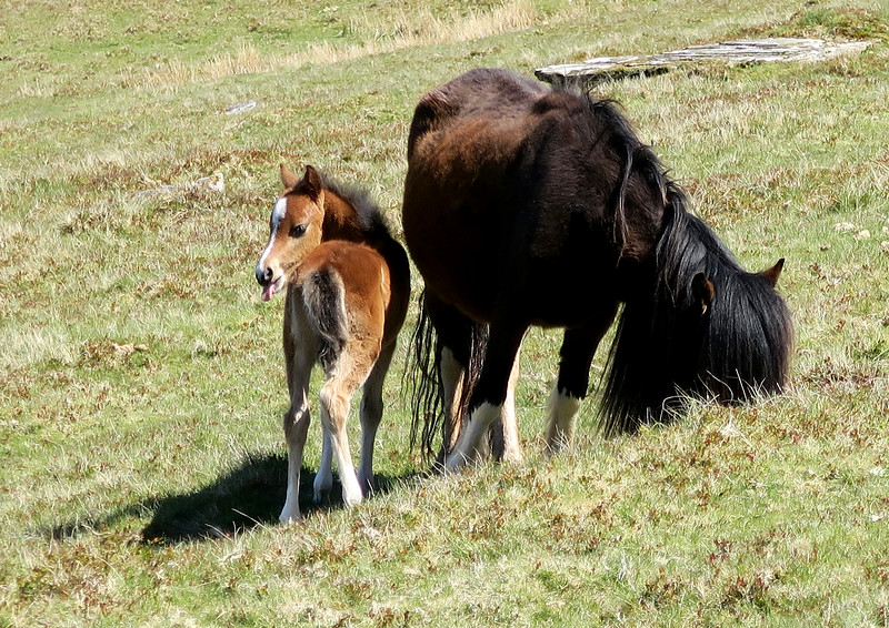 A foal sticks its toungue out at us.