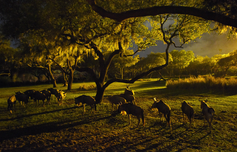 Kilimanjaro Safaris at Disney's Animal Kingdom at Night
