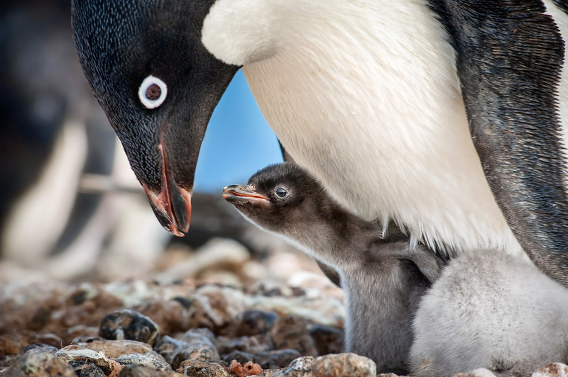 Disneynature PENGUINS opening week box office to benefit WCN, plus new adorable look into the film