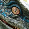 """Blue, the Velociraptor from Universal Pictures and Amblin Entertainment's Jurassic World Franchise,<br /> debuts at Universal Studios Hollywood and Universal Orlando Resort as part of the """"Raptor Encounter"""" experience."""
