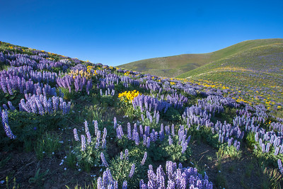 Post wildfire Lupine blooms out Croy Canyon near Hailey, ID.
