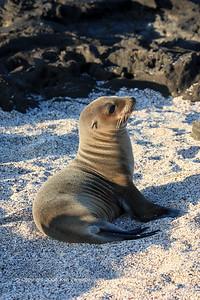 Galapagos Sea Lion pup, Isla Santiago 11/07/08