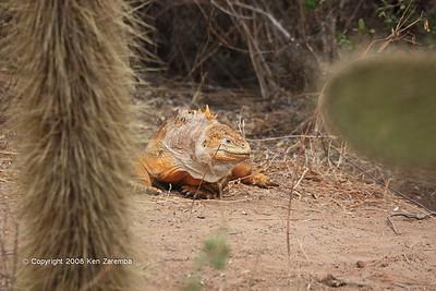 Land Iguana at Serro Dragon, Isla Santa Cruz 11/06/08