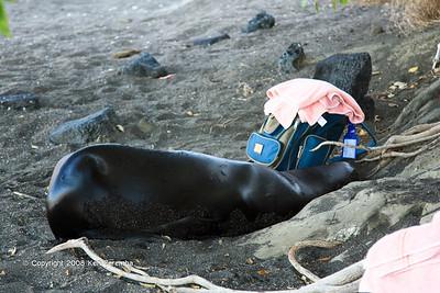 Sea Lion making itself comfortable at Puerto Egas, Isla Santiago 11/07/08
