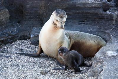 Galapagos Sea Lions, Isla Santiago 11/07/08