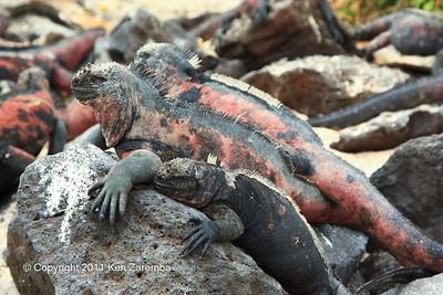 Marine Iguanas, Isla Espanola 11/02/08