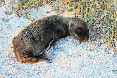 Fairly new Galapagos Sea Lion pup, North Seymour Island 11/01/08