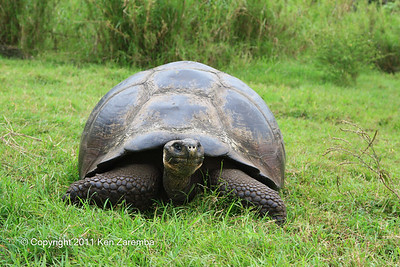 Domed-shelled Tortoise, subspecies porteri, Isla Santa Cruz 11/05/08