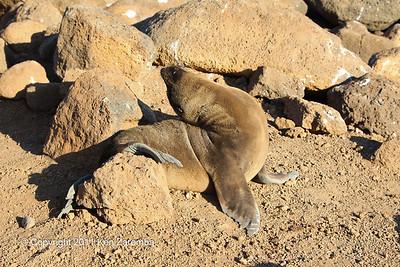 Galapagos Sea Lion,  North Seymour Island,  11/01/08