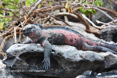 Marine Iguana, Isla Espanola 11/02/08