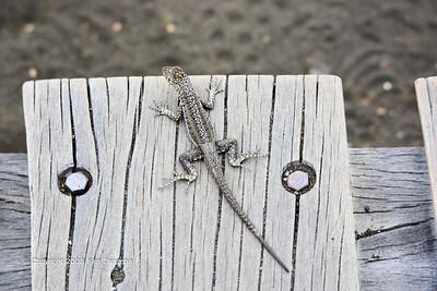 Galapagoa Lava Lizard, Isla Bartolome 11/07/08