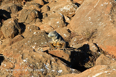 Land Iguana, North Seymour Island 11/01/08
